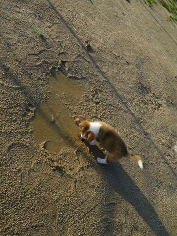 ウェルシュ・コーギー・ペンブロークこいぬ情報フントヒュッテウェルシュコーギーペンブローク子犬画像コーギーしっぽ付き尻尾付きしっぽつき断尾していないコーギー出産情報性格子犬の社会化コーギー家族募集中 Welsh Corgi Pembroke _ 297.jpg