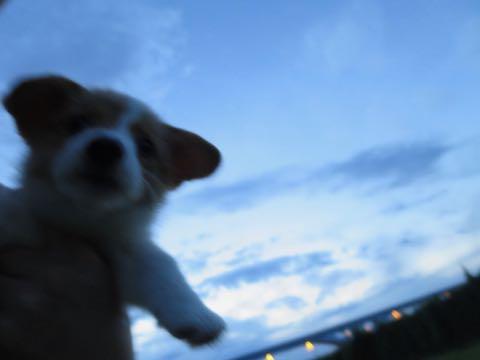 ウェルシュ・コーギー・ペンブロークこいぬ情報フントヒュッテウェルシュコーギーペンブローク子犬画像コーギーしっぽ付き尻尾付きしっぽつき断尾していないコーギー出産情報性格子犬の社会化コーギー家族募集中 Welsh Corgi Pembroke _ 429.jpg