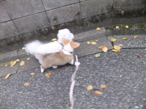 ウェルシュ・コーギー・ペンブロークこいぬ情報フントヒュッテウェルシュコーギーペンブローク子犬画像コーギーしっぽ付き尻尾付きしっぽつき断尾していないコーギー出産情報性格子犬の社会化コーギー家族募集中 Welsh Corgi Pembroke _ 572.jpg