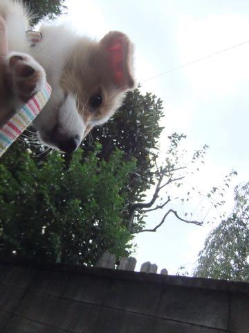 ウェルシュ・コーギー・ペンブロークこいぬ情報フントヒュッテウェルシュコーギーペンブローク子犬画像コーギーしっぽ付き尻尾付きしっぽつき断尾していないコーギー出産情報性格子犬の社会化コーギー家族募集中 Welsh Corgi Pembroke _ 575.jpg