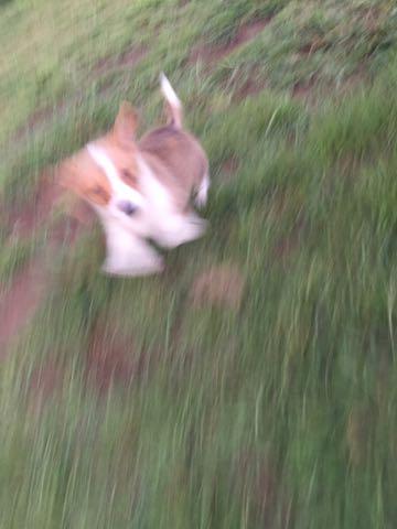 ウェルシュ・コーギー・ペンブロークこいぬ情報フントヒュッテウェルシュコーギーペンブローク子犬画像コーギーしっぽ付き尻尾付きしっぽつき断尾していないコーギー出産情報性格子犬の社会化コーギー家族募集中 Welsh Corgi Pembroke _ 582.jpg