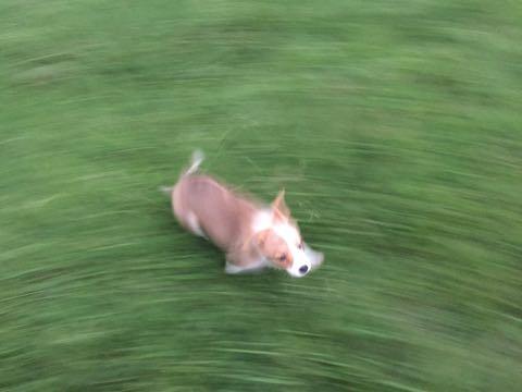 ウェルシュ・コーギー・ペンブロークこいぬ情報フントヒュッテウェルシュコーギーペンブローク子犬画像コーギーしっぽ付き尻尾付きしっぽつき断尾していないコーギー出産情報性格子犬の社会化コーギー家族募集中 Welsh Corgi Pembroke _ 583.jpg