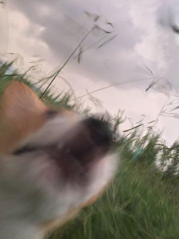 ウェルシュ・コーギー・ペンブロークこいぬ情報フントヒュッテウェルシュコーギーペンブローク子犬画像コーギーしっぽ付き尻尾付きしっぽつき断尾していないコーギー出産情報性格子犬の社会化コーギー家族募集中 Welsh Corgi Pembroke _ 584.jpg