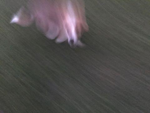 ウェルシュ・コーギー・ペンブロークこいぬ情報フントヒュッテウェルシュコーギーペンブローク子犬画像コーギーしっぽ付き尻尾付きしっぽつき断尾していないコーギー出産情報性格子犬の社会化コーギー家族募集中 Welsh Corgi Pembroke _ 589.jpg