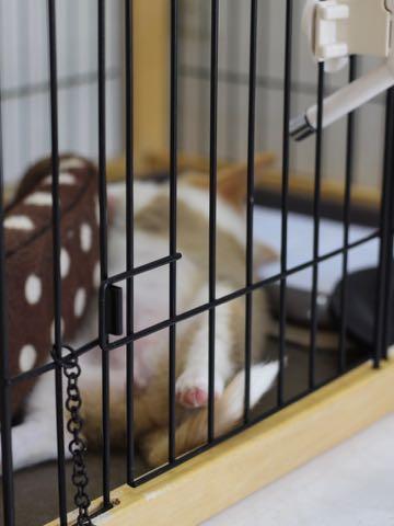 ウェルシュ・コーギー・ペンブロークこいぬ情報フントヒュッテウェルシュコーギーペンブローク子犬画像コーギーしっぽ付き尻尾付きしっぽつき断尾していないコーギー出産情報性格子犬の社会化コーギー家族募集中 Welsh Corgi Pembroke _ 600.jpg