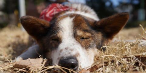 """河川敷の""""ホームレス犬"""" 老いてから救出、初めての室内暮らし 1.jpg"""