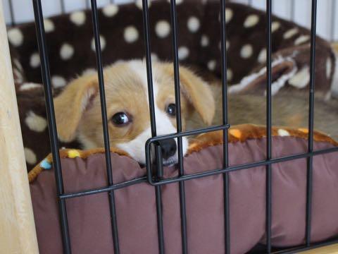 ウェルシュ・コーギー・ペンブロークこいぬ情報フントヒュッテウェルシュコーギーペンブローク子犬画像コーギーしっぽ付き尻尾付きしっぽつき断尾していないコーギー出産情報性格子犬の社会化コーギー家族募集中 Welsh Corgi Pembroke _ 650.jpg