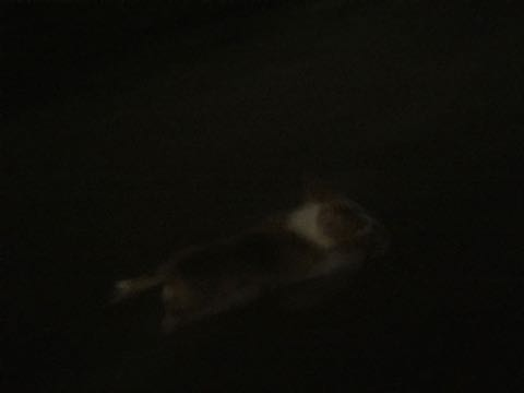 ウェルシュ・コーギー・ペンブロークこいぬ情報フントヒュッテウェルシュコーギーペンブローク子犬画像コーギーしっぽ付き尻尾付きしっぽつき断尾していないコーギー出産情報性格子犬の社会化コーギー家族募集中 Welsh Corgi Pembroke _ 697.jpg