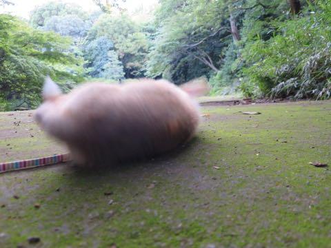 ウェルシュ・コーギー・ペンブロークこいぬ情報フントヒュッテウェルシュコーギーペンブローク子犬画像コーギーしっぽ付き尻尾付きしっぽつき断尾していないコーギー出産情報性格子犬の社会化コーギー家族募集中 Welsh Corgi Pembroke _ 725.jpg