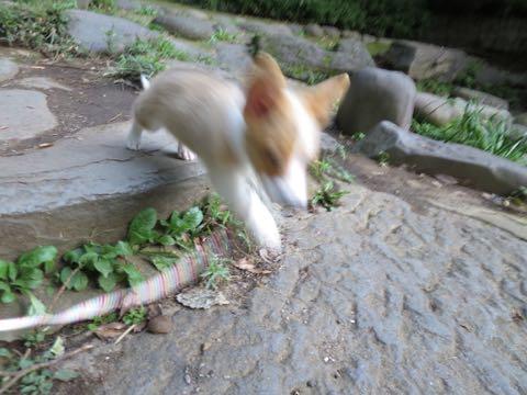 ウェルシュ・コーギー・ペンブロークこいぬ情報フントヒュッテウェルシュコーギーペンブローク子犬画像コーギーしっぽ付き尻尾付きしっぽつき断尾していないコーギー出産情報性格子犬の社会化コーギー家族募集中 Welsh Corgi Pembroke _ 729.jpg