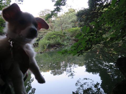 ウェルシュ・コーギー・ペンブロークこいぬ情報フントヒュッテウェルシュコーギーペンブローク子犬画像コーギーしっぽ付き尻尾付きしっぽつき断尾していないコーギー出産情報性格子犬の社会化コーギー家族募集中 Welsh Corgi Pembroke _ 754.jpg