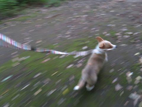 ウェルシュ・コーギー・ペンブロークこいぬ情報フントヒュッテウェルシュコーギーペンブローク子犬画像コーギーしっぽ付き尻尾付きしっぽつき断尾していないコーギー出産情報性格子犬の社会化コーギー家族募集中 Welsh Corgi Pembroke _ 765.jpg