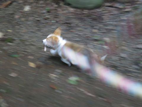 ウェルシュ・コーギー・ペンブロークこいぬ情報フントヒュッテウェルシュコーギーペンブローク子犬画像コーギーしっぽ付き尻尾付きしっぽつき断尾していないコーギー出産情報性格子犬の社会化コーギー家族募集中 Welsh Corgi Pembroke _ 766.jpg