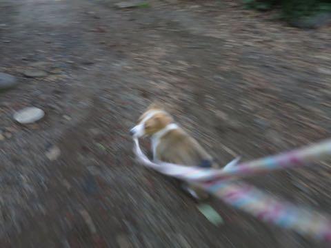 ウェルシュ・コーギー・ペンブロークこいぬ情報フントヒュッテウェルシュコーギーペンブローク子犬画像コーギーしっぽ付き尻尾付きしっぽつき断尾していないコーギー出産情報性格子犬の社会化コーギー家族募集中 Welsh Corgi Pembroke _ 768.jpg