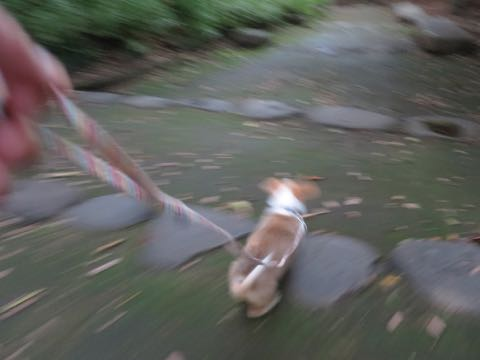 ウェルシュ・コーギー・ペンブロークこいぬ情報フントヒュッテウェルシュコーギーペンブローク子犬画像コーギーしっぽ付き尻尾付きしっぽつき断尾していないコーギー出産情報性格子犬の社会化コーギー家族募集中 Welsh Corgi Pembroke _ 772.jpg