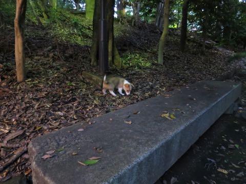 ウェルシュ・コーギー・ペンブロークこいぬ情報フントヒュッテウェルシュコーギーペンブローク子犬画像コーギーしっぽ付き尻尾付きしっぽつき断尾していないコーギー出産情報性格子犬の社会化コーギー家族募集中 Welsh Corgi Pembroke _ 775.jpg