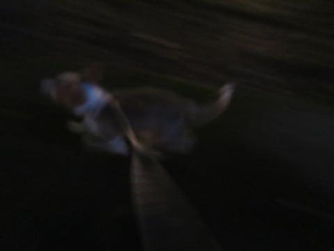 ウェルシュ・コーギー・ペンブロークこいぬ情報フントヒュッテウェルシュコーギーペンブローク子犬画像コーギーしっぽ付き尻尾付きしっぽつき断尾していないコーギー出産情報性格子犬の社会化コーギー家族募集中 Welsh Corgi Pembroke _ 784.jpg