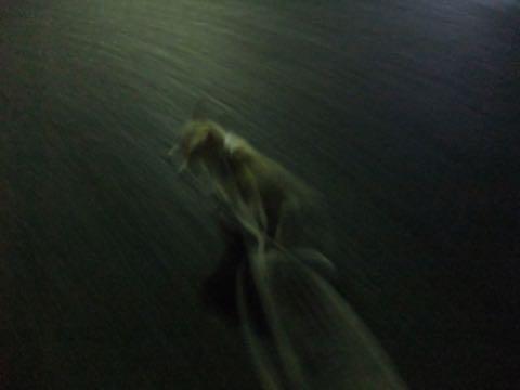 ウェルシュ・コーギー・ペンブロークこいぬ情報フントヒュッテウェルシュコーギーペンブローク子犬画像コーギーしっぽ付き尻尾付きしっぽつき断尾していないコーギー出産情報性格子犬の社会化コーギー家族募集中 Welsh Corgi Pembroke _ 791.jpg
