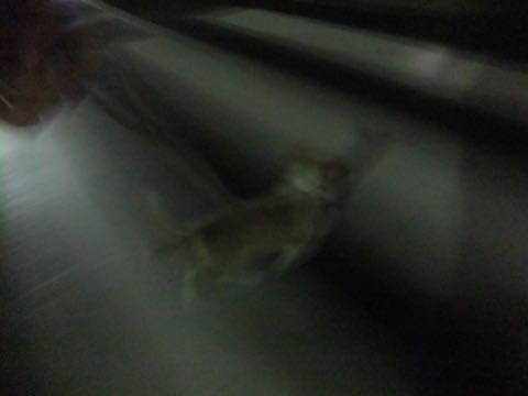 ウェルシュ・コーギー・ペンブロークこいぬ情報フントヒュッテウェルシュコーギーペンブローク子犬画像コーギーしっぽ付き尻尾付きしっぽつき断尾していないコーギー出産情報性格子犬の社会化コーギー家族募集中 Welsh Corgi Pembroke _ 793.jpg