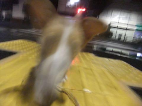 ウェルシュ・コーギー・ペンブロークこいぬ情報フントヒュッテウェルシュコーギーペンブローク子犬画像コーギーしっぽ付き尻尾付きしっぽつき断尾していないコーギー出産情報性格子犬の社会化コーギー家族募集中 Welsh Corgi Pembroke _ 794.jpg