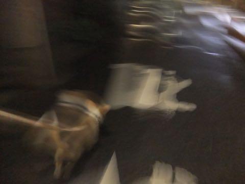 ウェルシュ・コーギー・ペンブロークこいぬ情報フントヒュッテウェルシュコーギーペンブローク子犬画像コーギーしっぽ付き尻尾付きしっぽつき断尾していないコーギー出産情報性格子犬の社会化コーギー家族募集中 Welsh Corgi Pembroke _ 795.jpg
