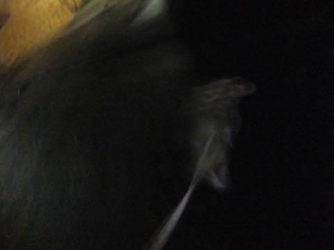 ウェルシュ・コーギー・ペンブロークこいぬ情報フントヒュッテウェルシュコーギーペンブローク子犬画像コーギーしっぽ付き尻尾付きしっぽつき断尾していないコーギー出産情報性格子犬の社会化コーギー家族募集中 Welsh Corgi Pembroke _ 796.jpg