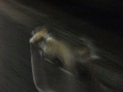 ウェルシュ・コーギー・ペンブロークこいぬ情報フントヒュッテウェルシュコーギーペンブローク子犬画像コーギーしっぽ付き尻尾付きしっぽつき断尾していないコーギー出産情報性格子犬の社会化コーギー家族募集中 Welsh Corgi Pembroke _ 797.jpg