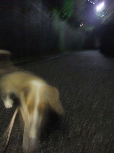 ウェルシュ・コーギー・ペンブロークこいぬ情報フントヒュッテウェルシュコーギーペンブローク子犬画像コーギーしっぽ付き尻尾付きしっぽつき断尾していないコーギー出産情報性格子犬の社会化コーギー家族募集中 Welsh Corgi Pembroke _ 798.jpg