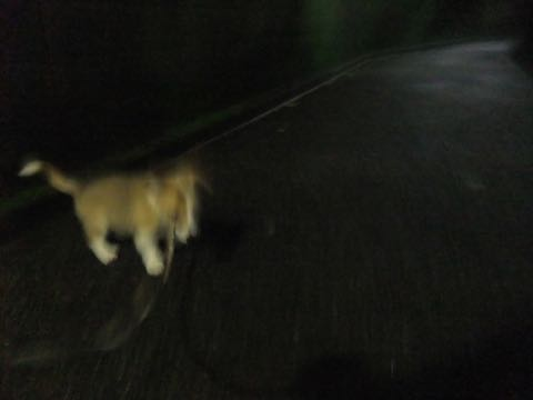 ウェルシュ・コーギー・ペンブロークこいぬ情報フントヒュッテウェルシュコーギーペンブローク子犬画像コーギーしっぽ付き尻尾付きしっぽつき断尾していないコーギー出産情報性格子犬の社会化コーギー家族募集中 Welsh Corgi Pembroke _ 800.jpg