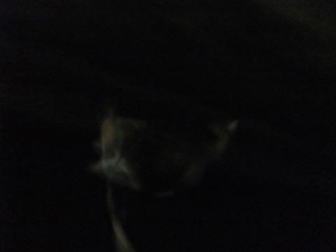 ウェルシュ・コーギー・ペンブロークこいぬ情報フントヒュッテウェルシュコーギーペンブローク子犬画像コーギーしっぽ付き尻尾付きしっぽつき断尾していないコーギー出産情報性格子犬の社会化コーギー家族募集中 Welsh Corgi Pembroke _ 802.jpg