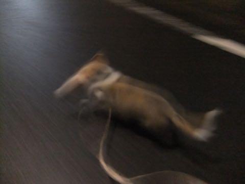 ウェルシュ・コーギー・ペンブロークこいぬ情報フントヒュッテウェルシュコーギーペンブローク子犬画像コーギーしっぽ付き尻尾付きしっぽつき断尾していないコーギー出産情報性格子犬の社会化コーギー家族募集中 Welsh Corgi Pembroke _ 803.jpg