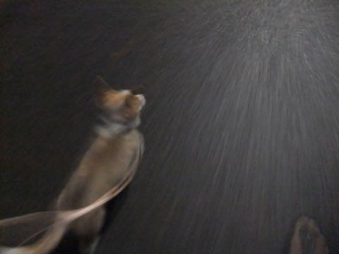 ウェルシュ・コーギー・ペンブロークこいぬ情報フントヒュッテウェルシュコーギーペンブローク子犬画像コーギーしっぽ付き尻尾付きしっぽつき断尾していないコーギー出産情報性格子犬の社会化コーギー家族募集中 Welsh Corgi Pembroke _ 806.jpg