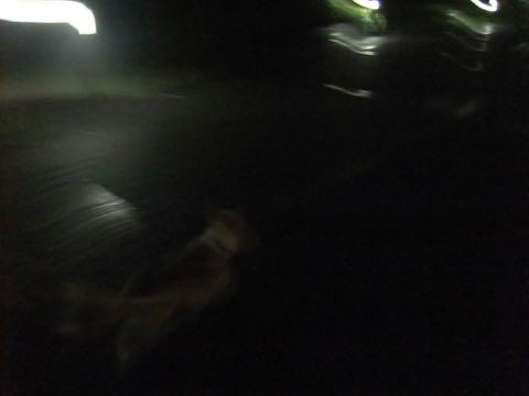 ウェルシュ・コーギー・ペンブロークこいぬ情報フントヒュッテウェルシュコーギーペンブローク子犬画像コーギーしっぽ付き尻尾付きしっぽつき断尾していないコーギー出産情報性格子犬の社会化コーギー家族募集中 Welsh Corgi Pembroke _ 809.jpg