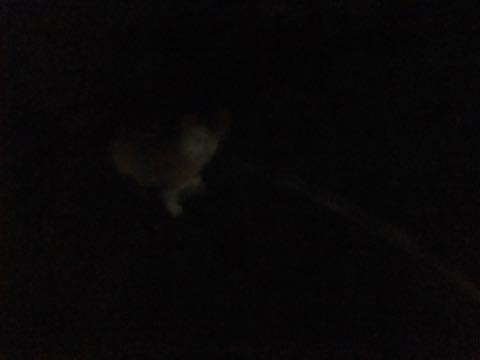 ウェルシュ・コーギー・ペンブロークこいぬ情報フントヒュッテウェルシュコーギーペンブローク子犬画像コーギーしっぽ付き尻尾付きしっぽつき断尾していないコーギー出産情報性格子犬の社会化コーギー家族募集中 Welsh Corgi Pembroke _ 810.jpg