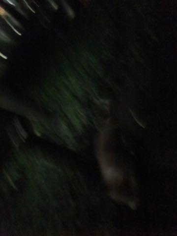 ウェルシュ・コーギー・ペンブロークこいぬ情報フントヒュッテウェルシュコーギーペンブローク子犬画像コーギーしっぽ付き尻尾付きしっぽつき断尾していないコーギー出産情報性格子犬の社会化コーギー家族募集中 Welsh Corgi Pembroke _ 822.jpg