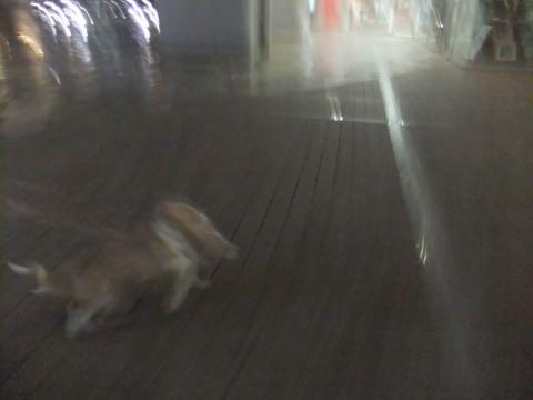 ウェルシュ・コーギー・ペンブロークこいぬ情報フントヒュッテウェルシュコーギーペンブローク子犬画像コーギーしっぽ付き尻尾付きしっぽつき断尾していないコーギー出産情報性格子犬の社会化コーギー家族募集中 Welsh Corgi Pembroke _ 825.jpg