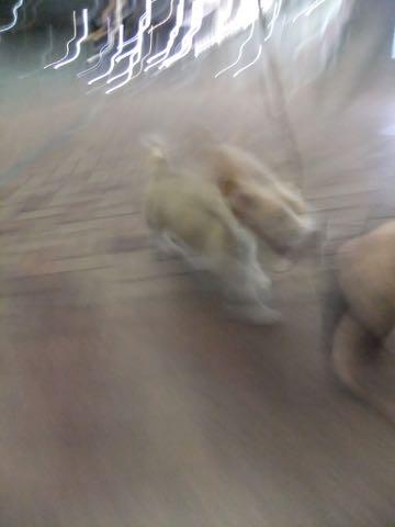 ウェルシュ・コーギー・ペンブロークこいぬ情報フントヒュッテウェルシュコーギーペンブローク子犬画像コーギーしっぽ付き尻尾付きしっぽつき断尾していないコーギー出産情報性格子犬の社会化コーギー家族募集中 Welsh Corgi Pembroke _ 826.jpg