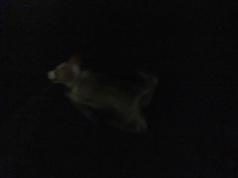 ウェルシュ・コーギー・ペンブロークこいぬ情報フントヒュッテウェルシュコーギーペンブローク子犬画像コーギーしっぽ付き尻尾付きしっぽつき断尾していないコーギー出産情報性格子犬の社会化コーギー家族募集中 Welsh Corgi Pembroke _ 827.jpg