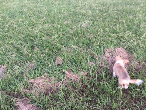 ウェルシュ・コーギー・ペンブロークこいぬ情報フントヒュッテウェルシュコーギーペンブローク子犬画像コーギーしっぽ付き尻尾付きしっぽつき断尾していないコーギー出産情報性格子犬の社会化コーギー家族募集中 Welsh Corgi Pembroke _ 841.jpg