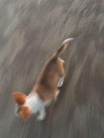 ウェルシュ・コーギー・ペンブロークこいぬ情報フントヒュッテウェルシュコーギーペンブローク子犬画像コーギーしっぽ付き尻尾付きしっぽつき断尾していないコーギー出産情報性格子犬の社会化コーギー家族募集中 Welsh Corgi Pembroke _ 850.jpg