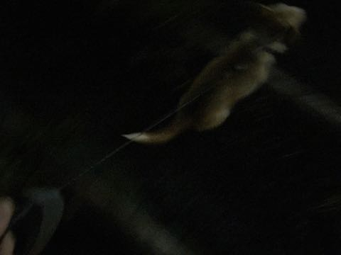 ウェルシュ・コーギー・ペンブロークこいぬ情報フントヒュッテウェルシュコーギーペンブローク子犬画像コーギーしっぽ付き尻尾付きしっぽつき断尾していないコーギー出産情報性格子犬の社会化コーギー家族募集中 Welsh Corgi Pembroke _ 855.jpg