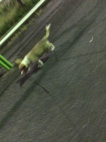 ウェルシュ・コーギー・ペンブロークこいぬ情報フントヒュッテウェルシュコーギーペンブローク子犬画像コーギーしっぽ付き尻尾付きしっぽつき断尾していないコーギー出産情報性格子犬の社会化コーギー家族募集中 Welsh Corgi Pembroke _ 863.jpg