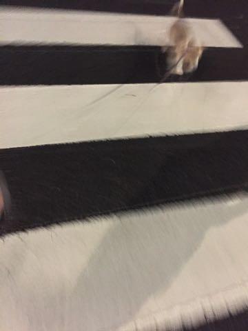 ウェルシュ・コーギー・ペンブロークこいぬ情報フントヒュッテウェルシュコーギーペンブローク子犬画像コーギーしっぽ付き尻尾付きしっぽつき断尾していないコーギー出産情報性格子犬の社会化コーギー家族募集中 Welsh Corgi Pembroke _ 867.jpg