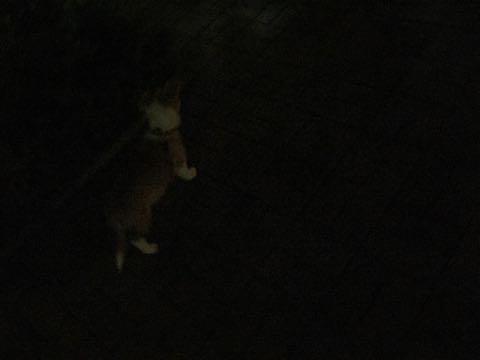 ウェルシュ・コーギー・ペンブロークこいぬ情報フントヒュッテウェルシュコーギーペンブローク子犬画像コーギーしっぽ付き尻尾付きしっぽつき断尾していないコーギー出産情報性格子犬の社会化コーギー家族募集中 Welsh Corgi Pembroke _ 868.jpg