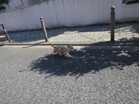 ウェルシュ・コーギー・ペンブロークこいぬ情報フントヒュッテウェルシュコーギーペンブローク子犬画像コーギーしっぽ付き尻尾付きしっぽつき断尾していないコーギー出産情報性格子犬の社会化コーギー家族募集中 Welsh Corgi Pembroke _ 878.jpg