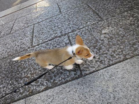 ウェルシュ・コーギー・ペンブロークこいぬ情報フントヒュッテウェルシュコーギーペンブローク子犬画像コーギーしっぽ付き尻尾付きしっぽつき断尾していないコーギー出産情報性格子犬の社会化コーギー家族募集中 Welsh Corgi Pembroke _ 881.jpg