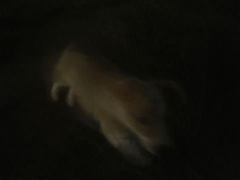 ウェルシュ・コーギー・ペンブロークこいぬ情報フントヒュッテウェルシュコーギーペンブローク子犬画像コーギーしっぽ付き尻尾付きしっぽつき断尾していないコーギー出産情報性格子犬の社会化コーギー家族募集中 Welsh Corgi Pembroke _ 903.jpg
