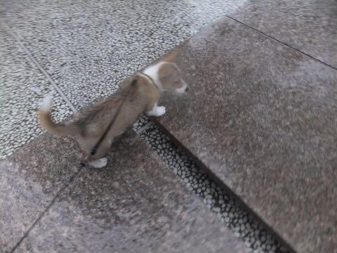 ウェルシュ・コーギー・ペンブロークこいぬ情報フントヒュッテウェルシュコーギーペンブローク子犬画像コーギーしっぽ付き尻尾付きしっぽつき断尾していないコーギー出産情報性格子犬の社会化コーギー家族募集中 Welsh Corgi Pembroke _ 936.jpg