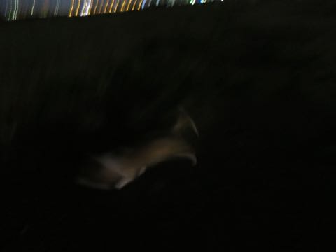 ウェルシュ・コーギー・ペンブロークこいぬ情報フントヒュッテウェルシュコーギーペンブローク子犬画像コーギーしっぽ付き尻尾付きしっぽつき断尾していないコーギー出産情報性格子犬の社会化コーギー家族募集中 Welsh Corgi Pembroke _ 983.jpg