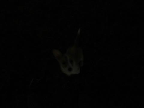 ウェルシュ・コーギー・ペンブロークこいぬ情報フントヒュッテウェルシュコーギーペンブローク子犬画像コーギーしっぽ付き尻尾付きしっぽつき断尾していないコーギー出産情報性格子犬の社会化コーギー家族募集中 Welsh Corgi Pembroke _ 988.jpg